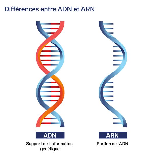 Différences entre ADN et ARN